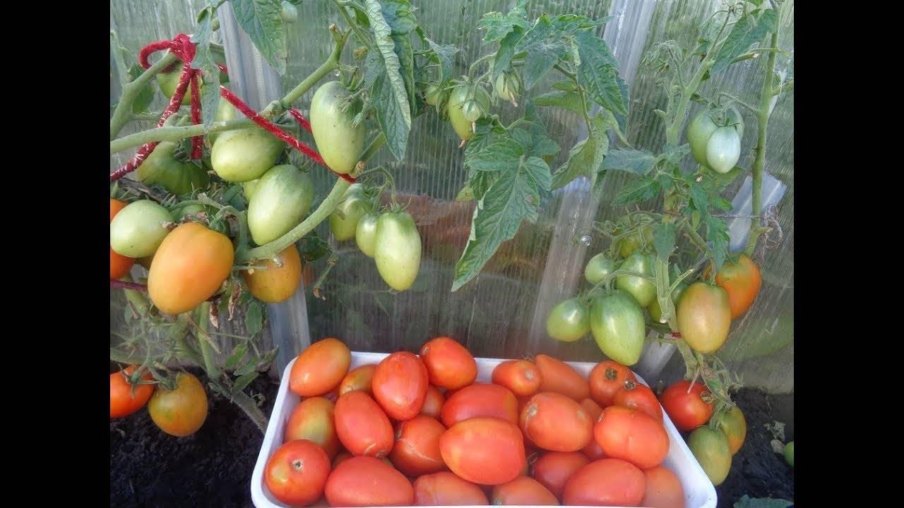Сорт томата «буян» («боец»): описание, характеристика, посев на рассаду, подкормка, урожайность, фото, видео и самые распространенные болезни томатов