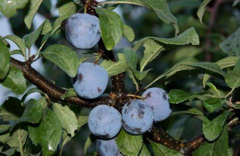 Слива богатырская: растим крупноплодное и выносливое дерево в саду