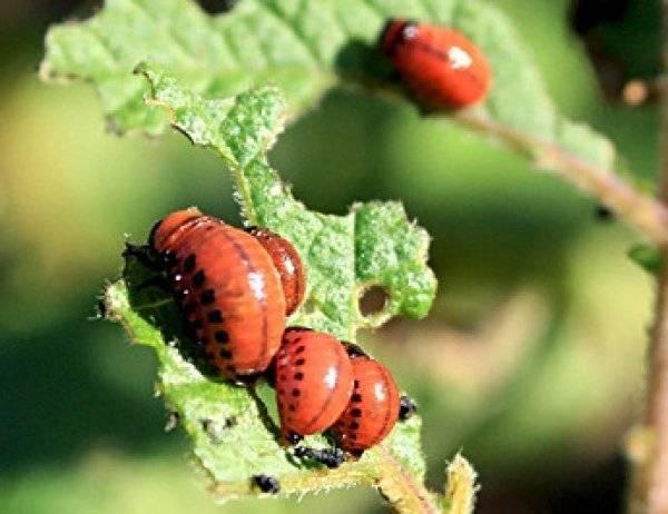 Препарат корадо от колорадского жука: особенность, использование, как разводить