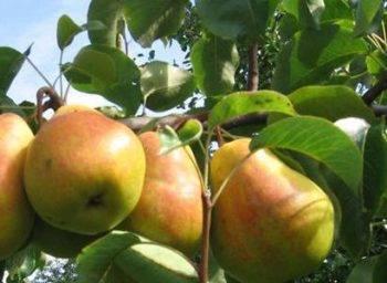 Груша «форель»: характеристика и агротехника выращивания