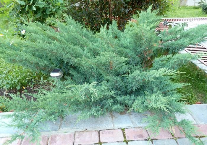 Можжевельник средний кинг оф спринг (juniperus pfitzeriana king of spring)