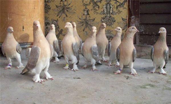 Голуби породы турецкая такла (20 фото): описание породы, разновидности масти и их названия, достоинства и недостатки птицы. почему птиц этой породы называют бойными?