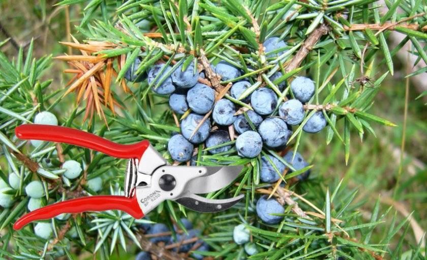Можжевельник «грин карпет» (39 фото): описание сорта можжевельника обыкновенного. посадка и уход. использование в ландшафтном дизайне