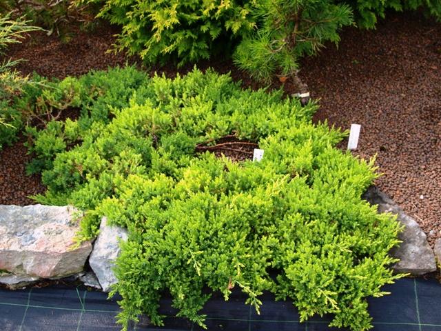 Кипарисовик тупой нана грацилис — миниатюрное деревце для украшения участка