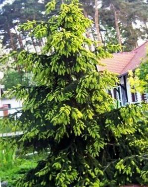 Канадская ель «дейзи уайт» (30 фото): описание сорта сизой ели, посадка и уход за белой елью daisy's white, высота взрослого дерева, применение глауки в ландшафтном дизайне