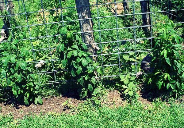Выращивание ежевики на шпалере: как подвязать правильно