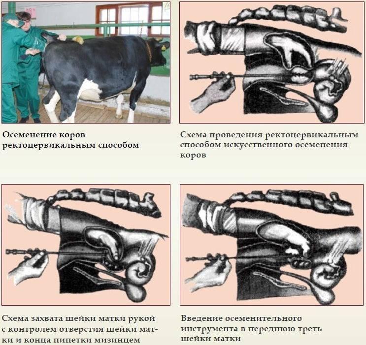 Кетоз у коров — симптомы и лечение