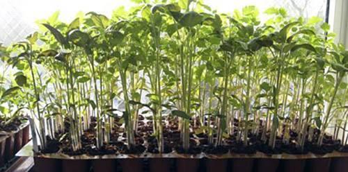Узнайте за 5 минут, почему желтеют листья помидор в теплице