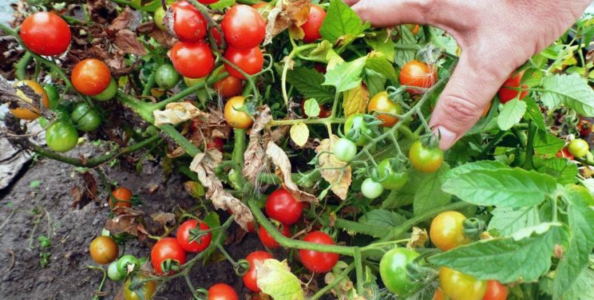 Посадка помидоров в открытый грунт: как сажать, правильный уход