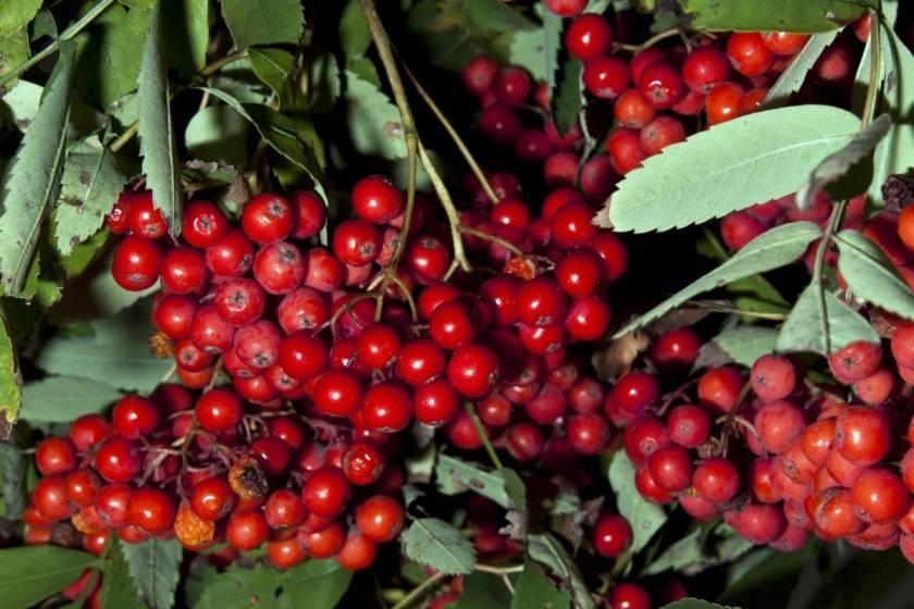 Рябина титан — описание сорта, фото, отзывы садоводов