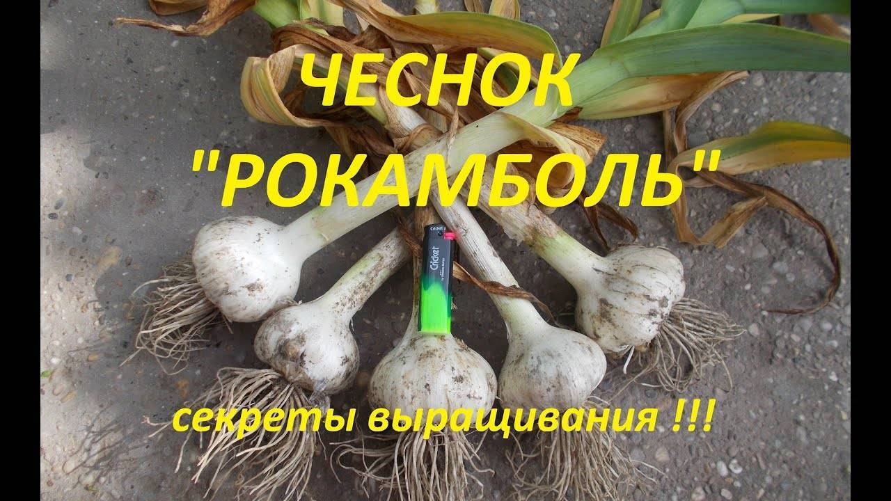 Съедобен или нет суворовский лук анзур