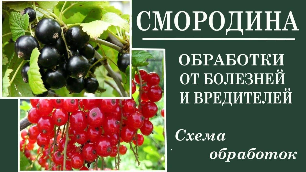 Весенняя обработка смородины от болезней и вредителей народными средствами и препаратами