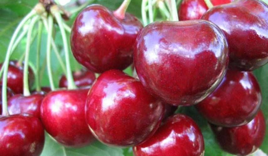 Особенности ухода и выращивания черешни сорта орловская янтарная