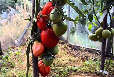 Высокоурожайный сорт томатов «мазарини» с крупными вкусными плодами