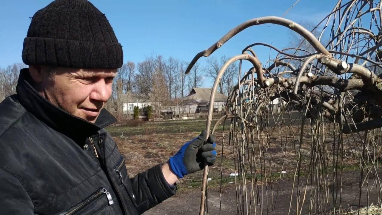Шелковица в подмосковье: выращивание и уход