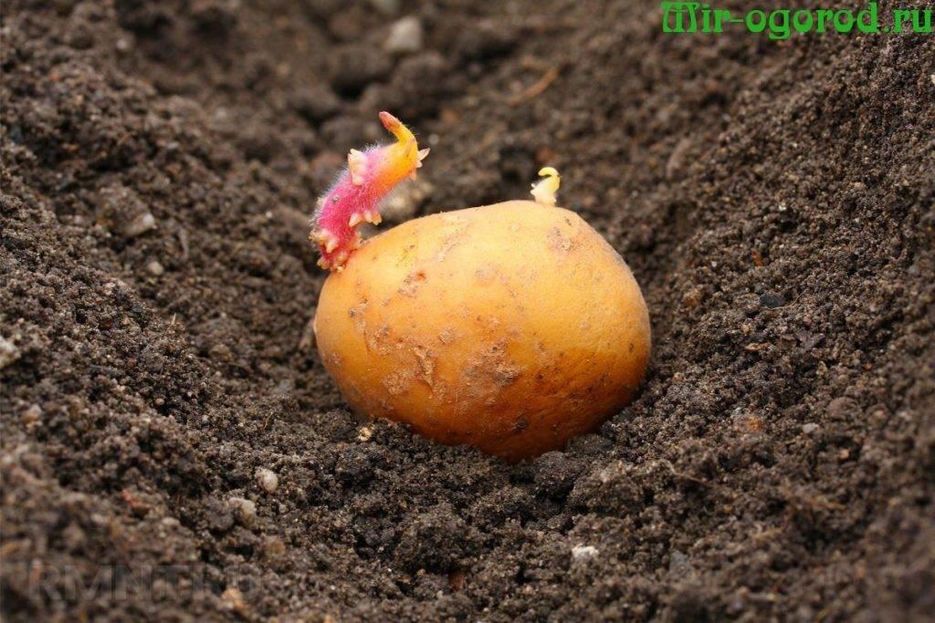 Лучшее удобрение для картофеля