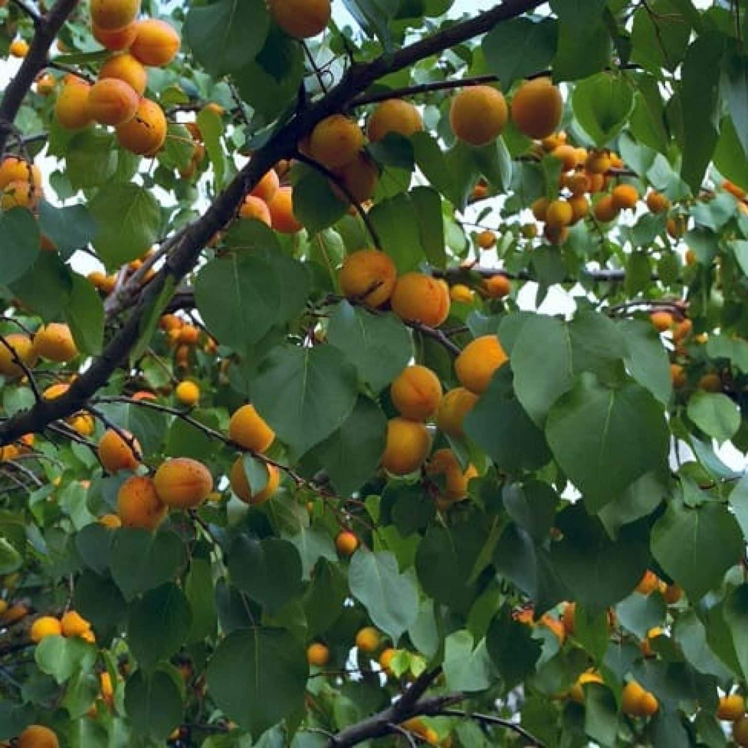 Плодоношение абрикоса: проблемы и их решение