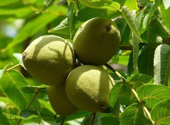 Черный орех полезные свойства и противопоказания
