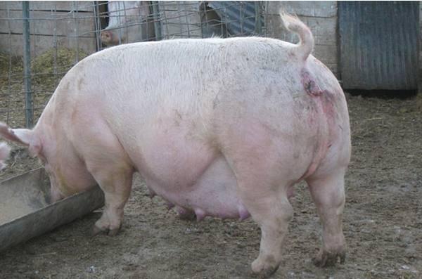Как в домашних условиях определить беременность свиньи в домашних условиях