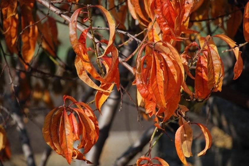 Персик, удобрение осенью