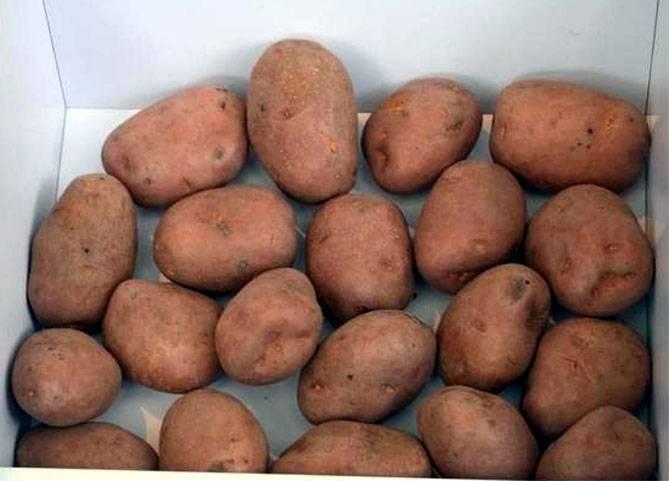 Картофель беллароза: урожайный, скороспелый, засухоустойчивый