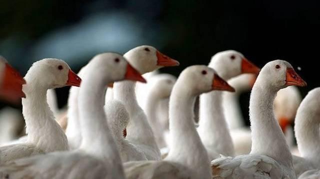 Обзор холмогорских гусей