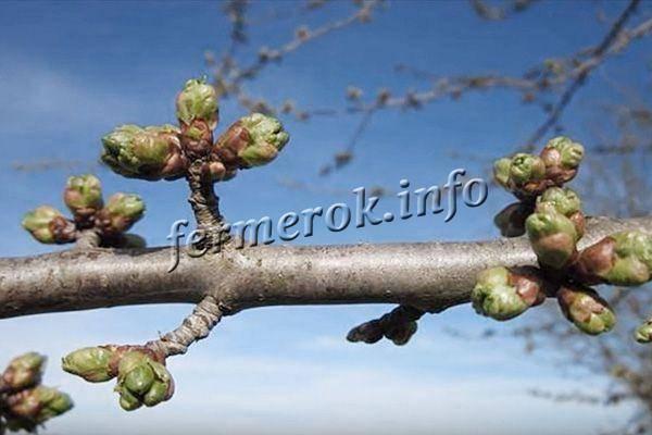 О вишне малышка: описание и характеристики сорта, уход и выращивание