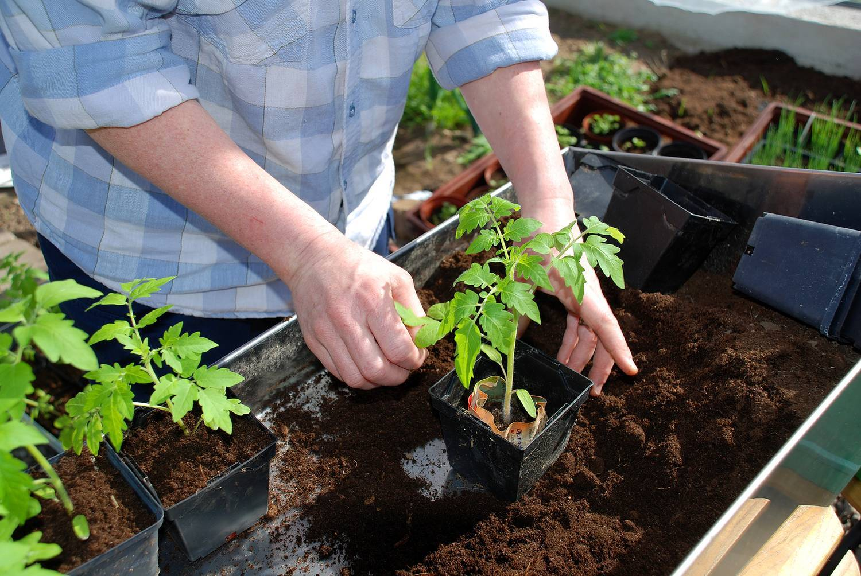 Подкормка рассады помидоров в домашних условиях