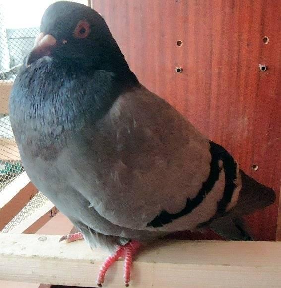 Вертячка у голубей и ее лечение