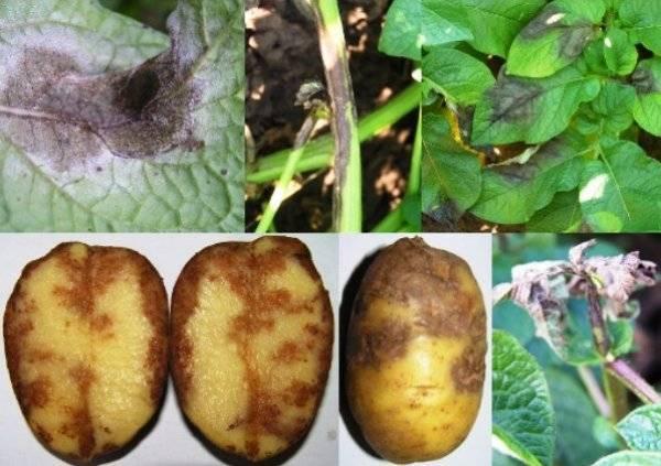 Фитофтороз картофеля – препараты и народные средства для борьбы с фитофторой