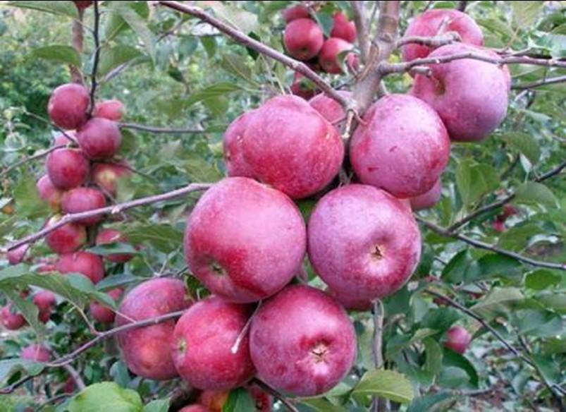 Сорт яблони «старкримсон»: характеристика и агротехника выращивания
