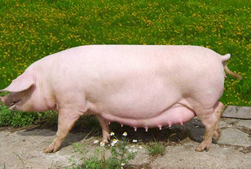 Супоросность свиней и как определить супоросность свиньи