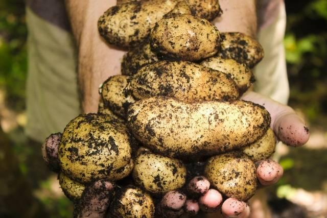 Когда можно копать молодую картошку после цветения?