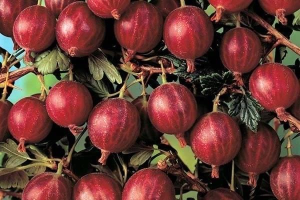 Крыжовник консул (сенатор): описание сорта, фото, отзывы садоводов, выращивание