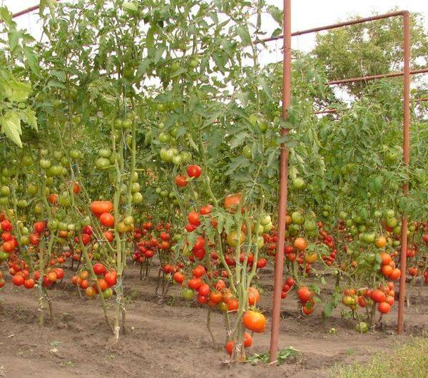 Уход за томатами от а до я. секреты выращивания помидоров в открытом грунте