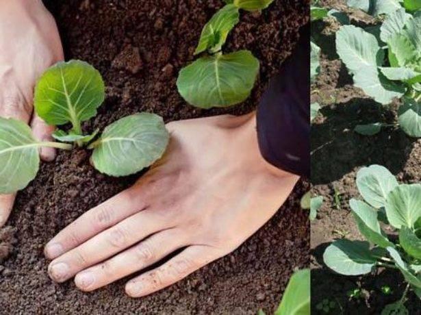 Как правильно сажать капусту в открытый грунт рассадой