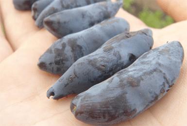 Жимолость бакчарский великан: выращивание и уход