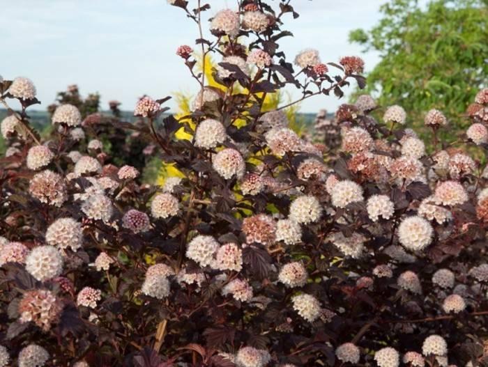 Презентабельный пузыреплодник с весны до осени: посадка, подкормки, стрижка