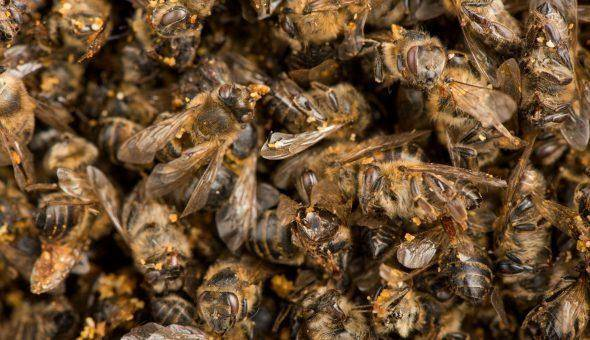 Пчелиный подмор: польза и вред, как принимать и от чего помогает