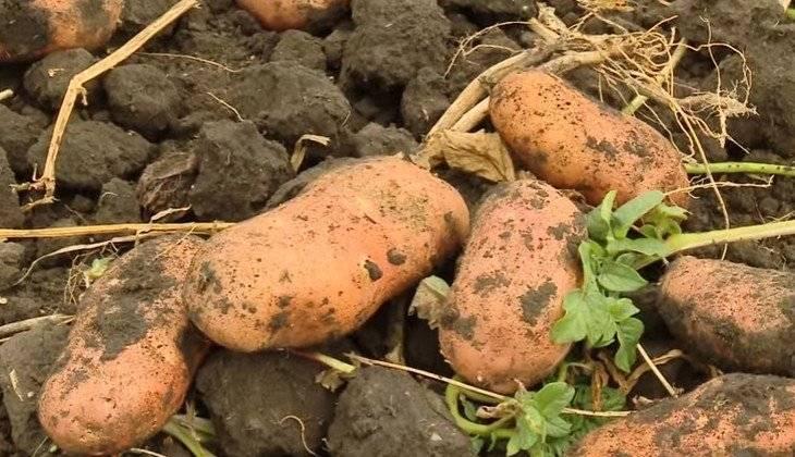 Сорт картофеля «лапоть»: характеристика, описание, урожайность, отзывы и фото