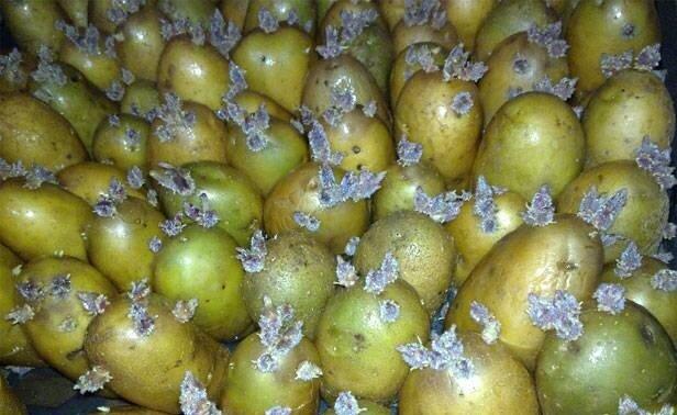 Обработка картофеля перед посадкой – как получить отличный урожай?