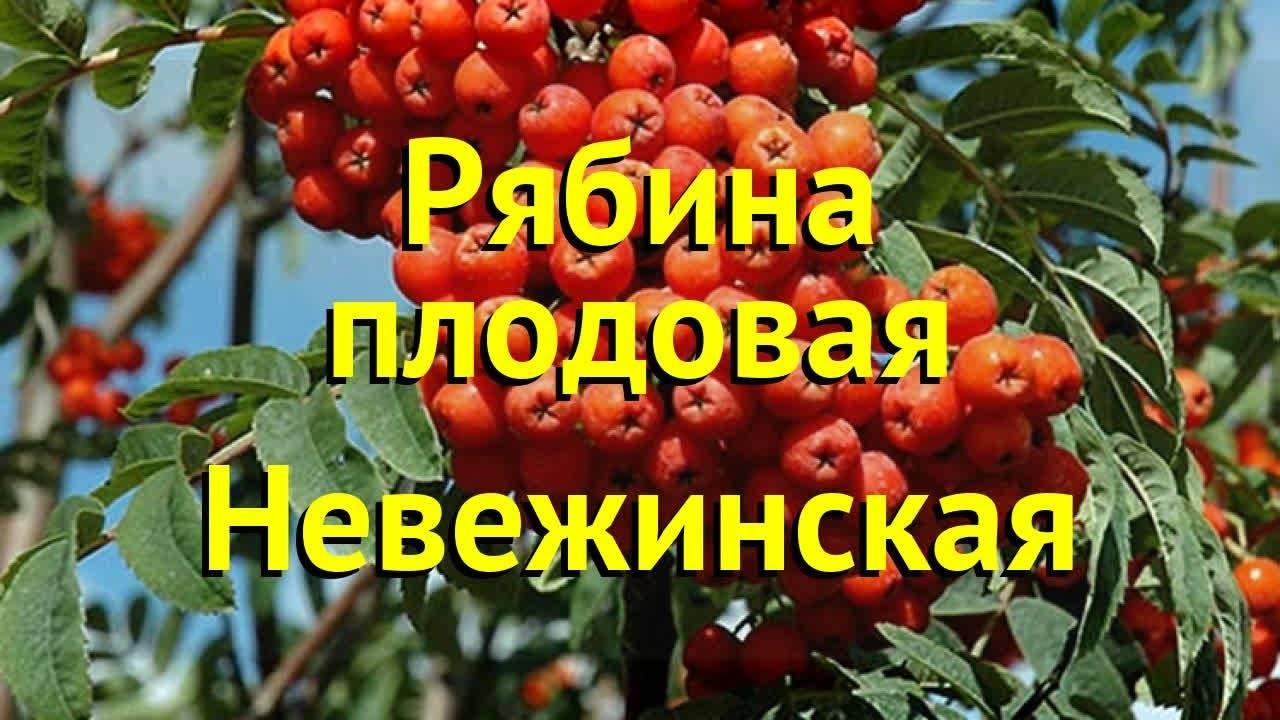 Рябина Гранатная: описание сорта, фото и отзывы