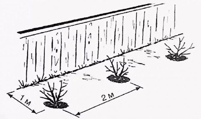 Что можно посадить рядом с жимолостью: деревья, другие растения