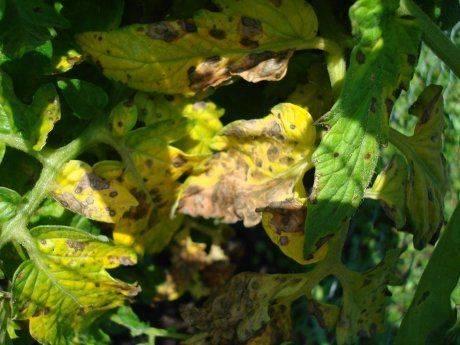 Почему желтеют листья помидоров в теплице: 5 причин