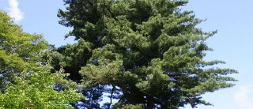 Сосна гималайская (44 фото): описание сортов сосны валлиха «нана» и «денса хилл», посадка уход в домашних условиях, формирование кроны
