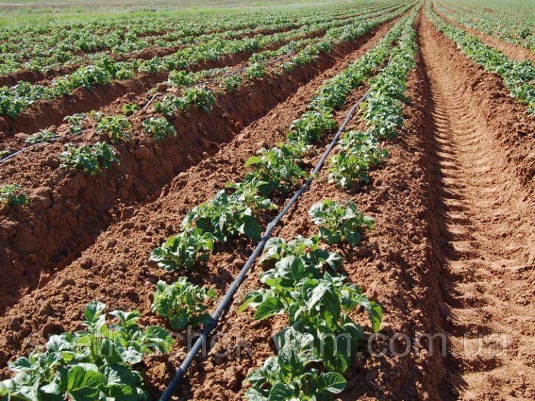 Простые правила выращиваниякартофеля американка или ранняя роза