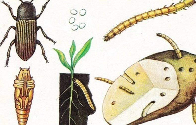 Проволочник в огороде: как избавиться, как бороться, чем обработать