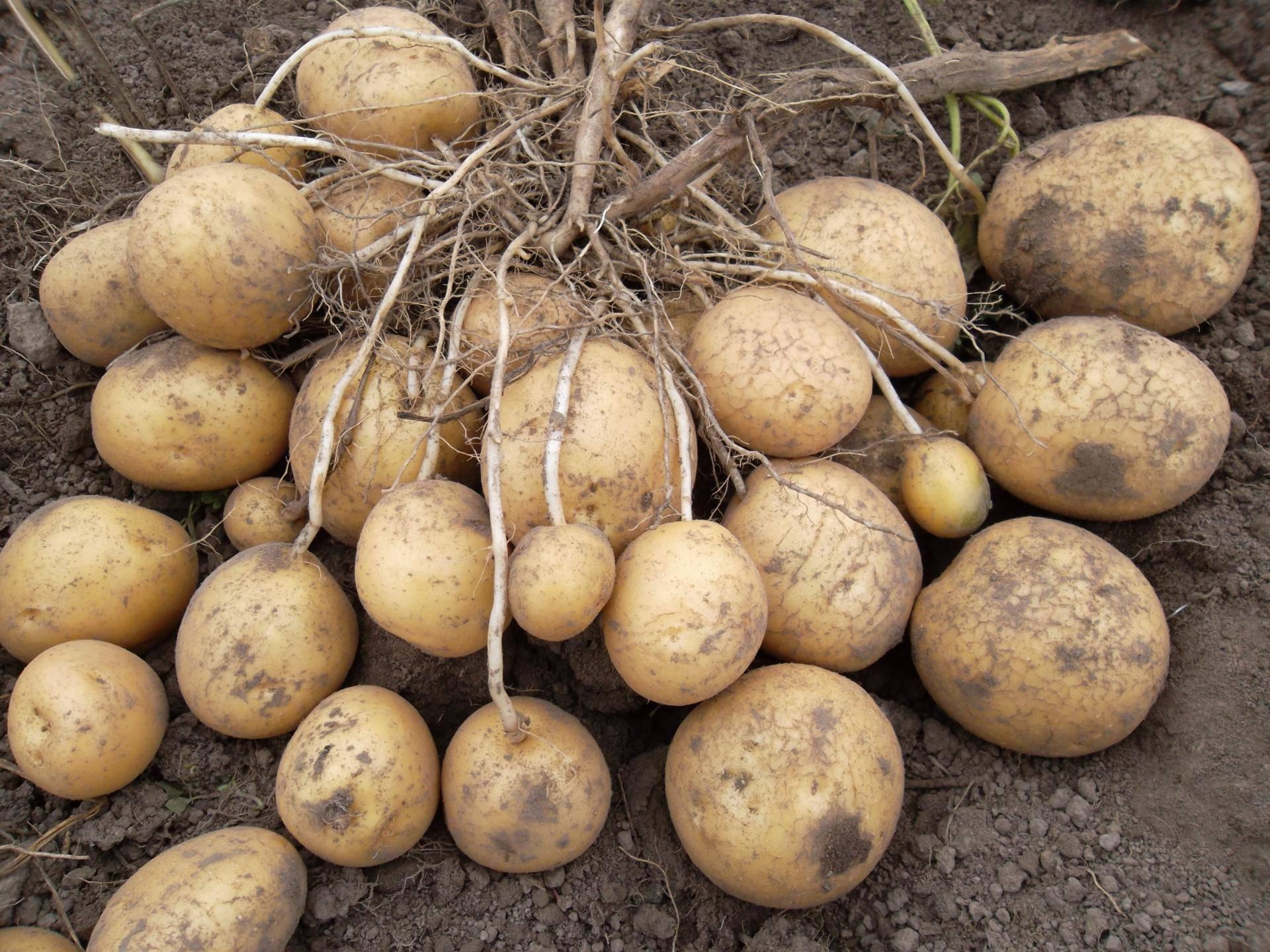 Сорт картофеля «ильинский»: характеристика, описание, урожайность, отзывы и фото