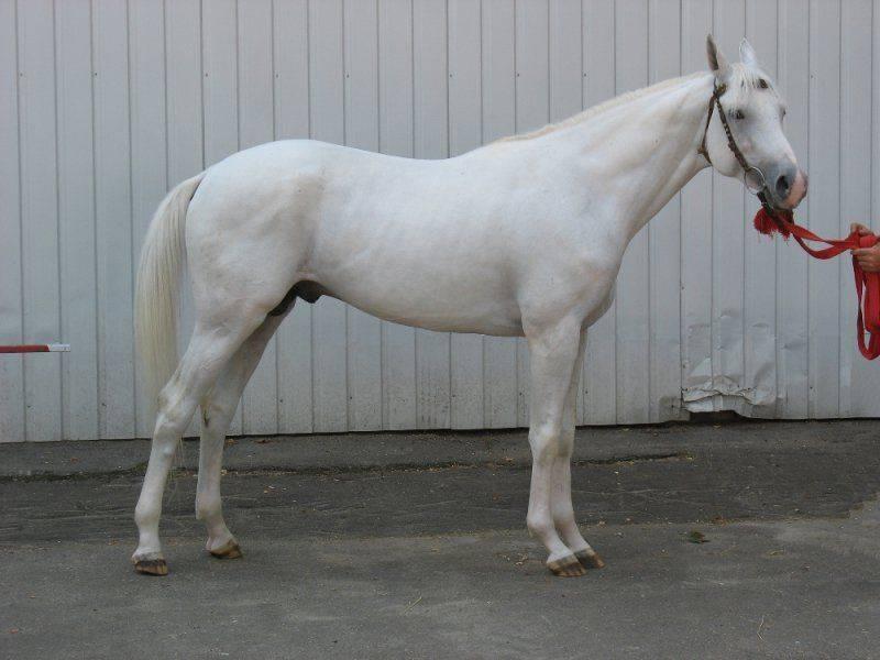 Wikizero - терская лошадь