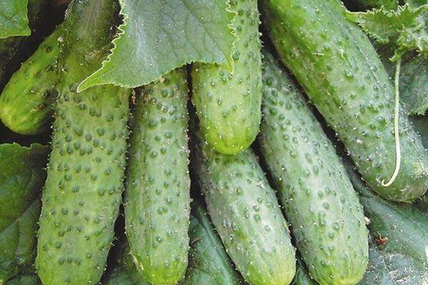 Огурцы «пасалимо f1»: описание, особенности выращивания сорта